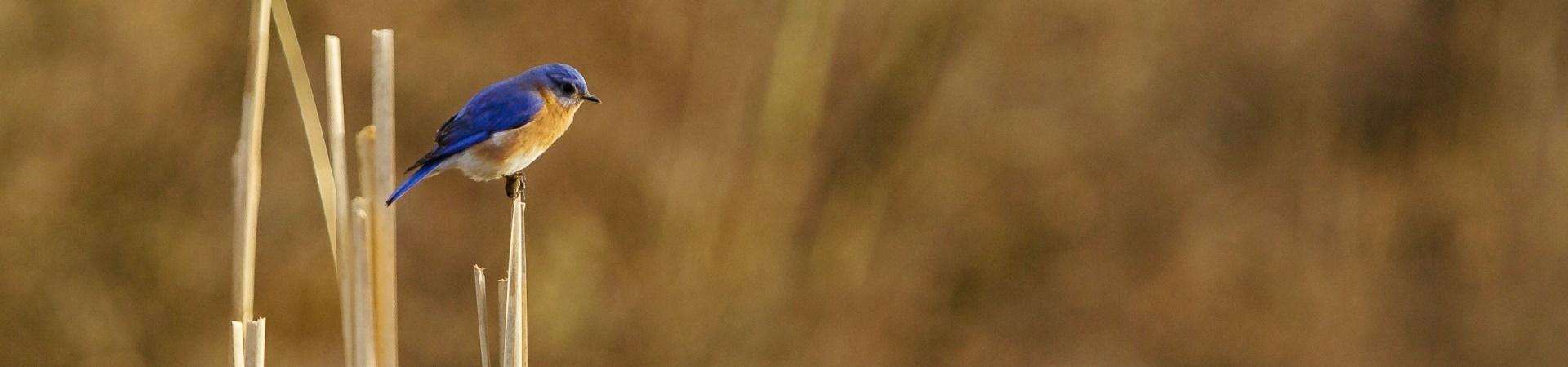 Bluebird banner 1920 x 450 prairie grass 1